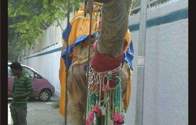 camel for baraat